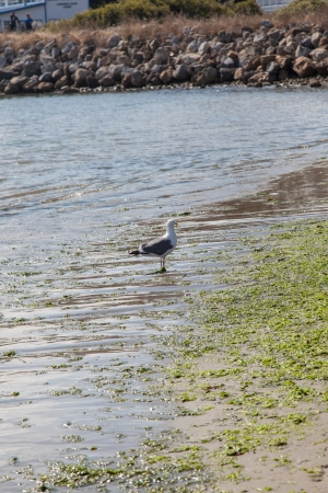 greatly: California Gull (Larus californicus) is a medium-sized gull, smaller on average than the Herring Gull but larger on average than the Ring-billed Gull, though may overlap in size greatly with both. Stock Photo