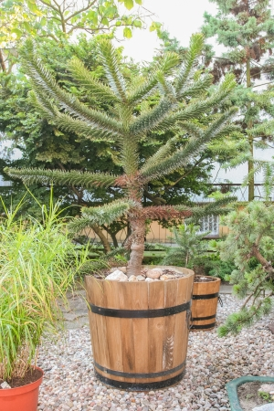 Araucaria araucana is a popular garden tree, planted for its unusual effect of the thick, reptilian branches with a very symmetrical appearance. photo