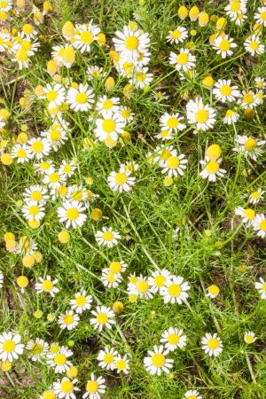 Anthemis arvensis is a species of the genus Anthemis and in the Asteraceae family. In addition, this plant is used like an ornamental plant. Stock Photo - 21802443