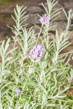 Lavandula angustifolia is a flowering plant in the family Lamiaceae, native to the western Mediterranean, primarily the Pyrenees and other mountains in northern Spain. photo