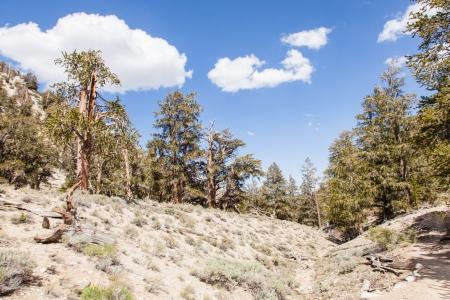 inyo national forest: Ancient Bristlecone Pine Forest es alto en las Monta?as Blancas en el condado de Inyo en el este de California.