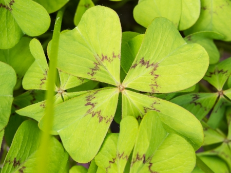 fourleaved: Oxalis tetraphylla is a bulbous plant from Mexico. A common name is Iron Cross, after a famous cultivar.
