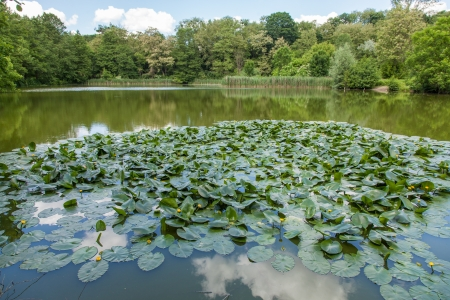 northwest africa: Yellow Water-lily (Nuphar lutea) is an aquatic plant of the family Nymphaeaceae, native to temperate regions of Europe, northwest Africa, and western Asia.