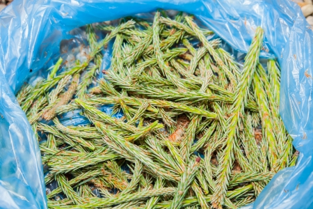 Freshly collected young pine shots in blue plastic bag.