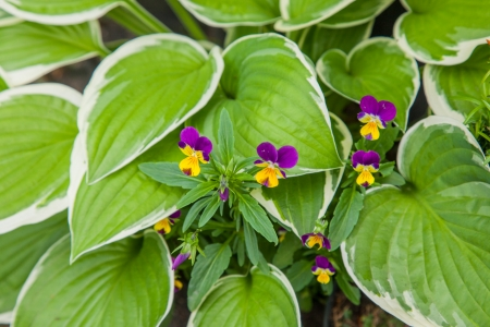 hostas: Hostas are widely cultivated as shade-tolerant foliage plants.