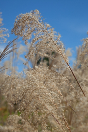 wild oats: Stipa gigantea is grown as an ornamental grass for planting as single specimens and massed drifts in parks, public landscapes, and gardens.