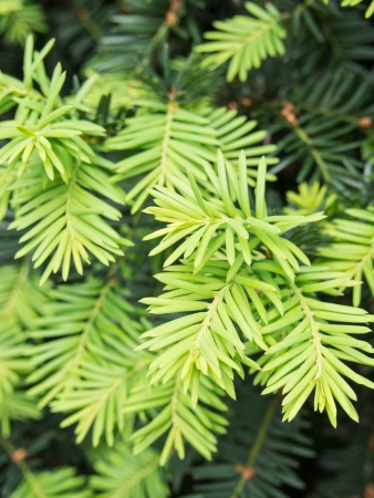 northwest africa: Taxus baccata is a conifer native to western, central and southern Europe, northwest Africa, northern Iran and southwest Asia. Stock Photo