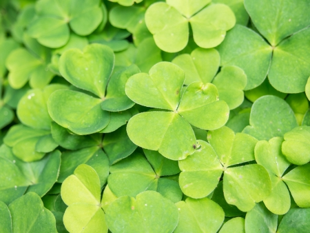Oxalis acetosella is a plant from the genus Oxalis, common in most of Europe and parts of Asia. photo