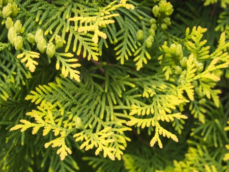 thuja occidentalis: Thuja occidentalis is an evergreen coniferous tree, in the cypress family Cupressaceae, which is native to the northeast of the United States and the southeast of Canada, but widely cultivated as an ornamental plant.