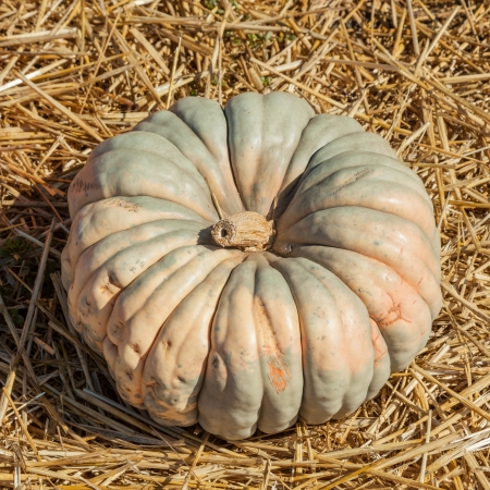 Jarrahdale Pumpkin is flattened like Cinderella but with a light bluegrey color. Deeply ribbed. Stock Photo