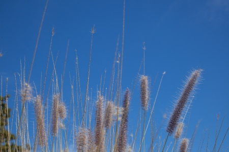 invasive species: Fountain Grass (Pennisetum setaceum) thrives in warmer, drier areas and threatens many native species, with which it competes very effectively as an invasive species.