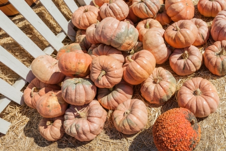 cinderella pumpkin: Fairytale is an old French heirloom variety. When young it is dark green with orangepeach blushes. As it ages the dark green turns to buff orange. Shaped much like Cinderella it is flat with deep ribbing. Stock Photo