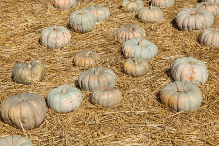 cinderella pumpkin: Jarrahdale Pumpkin is flattened like Cinderella but with a light bluegrey color. Deeply ribbed. Stock Photo