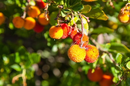 Lychee (Litchi chinensis)  is the sole member of the genus Litchi in the soapberry family, Sapindaceae. 免版税图像