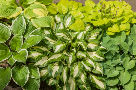 Hostas are widely cultivated as shade-tolerant foliage plants. Imagens - 24224026