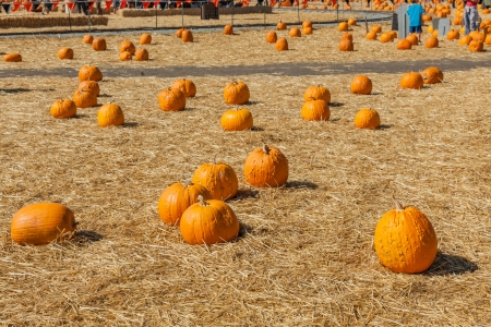 pumpkin patch: Great selection of pumpkins for sale at local pumpkin patch Stock Photo