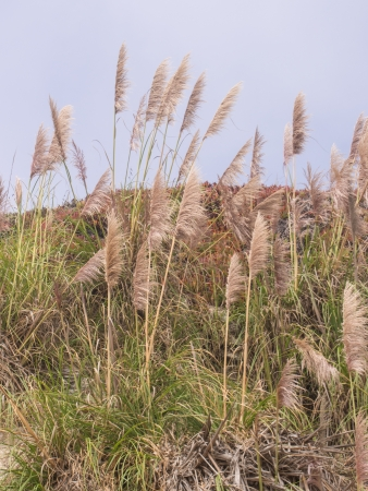 Pampas grass on coastal bluffs in Santa Cruz, California photo