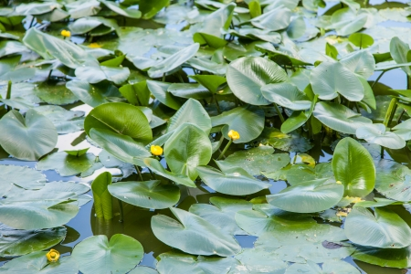 nymphaeaceae: Yellow Water-lily (Nuphar lutea) is an aquatic plant of the family Nymphaeaceae, native to temperate regions of Europe, northwest Africa, and western Asia.