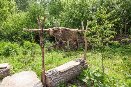 biskupin archaeological site: Skin of wild boar in Biskupin archaeological site. Stock Photo
