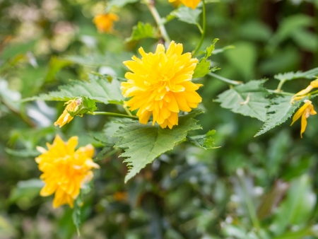 rosaceae: Kerria japonica, the sole species in the genus Kerria, is a deciduous shrub in the rose family Rosaceae, native to China, Japan and Korea.