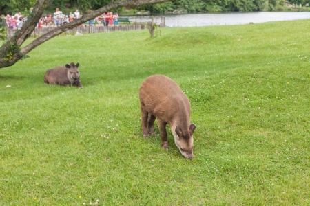 land mammal: South American tapir (Tapirus terrestris) is the second-largest land mammal in South America.