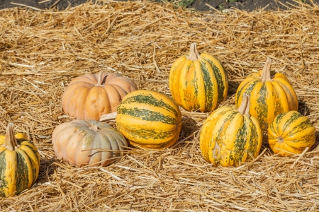 Great selection of pumpkins for sale at local pumpkin patch photo