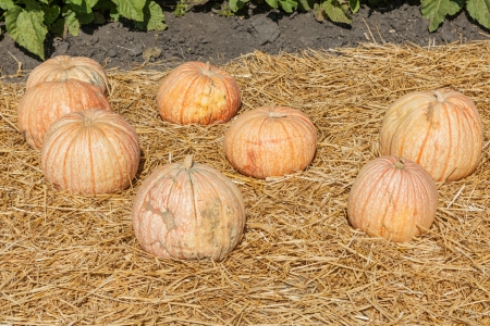 stippled: One Too Many pumpkin looks like a bloodshot eyeball. These 20 pound round to oblong fruits have a white background accented with midribs and stippled veins of red.