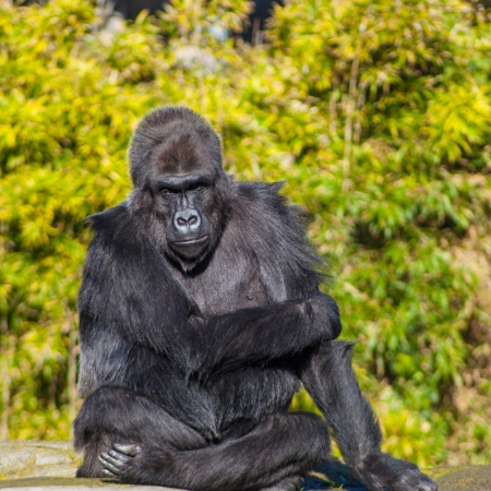lowland: Western lowland gorilla (Gorilla gorilla gorilla) lives in montane, primary, and secondary forests and lowland swamps in central Africa.