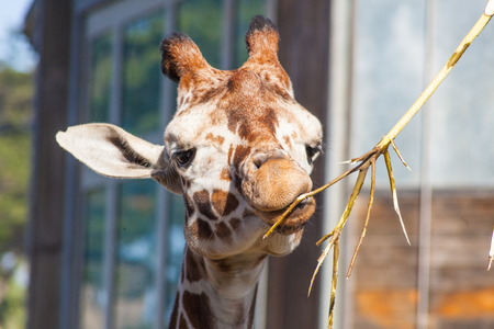 Reticulated giraffe (Giraffa camelopardalis reticulata) is a subspecies of giraffe native to Somalia, southern Ethiopia, and northern Kenya. Stock Photo - 25653276
