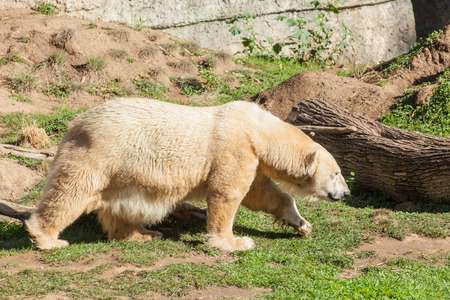 Polar bear (Ursus maritimus) is a carnivorous bear whose native range lies largely within the Arctic Circle. 版權商用圖片 - 25748273