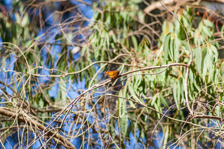 Within Natural Bridges State Beach, in Santa Cruz, you'll find the Monarch Butterfly Nature Preserve, a grove of eucalyptus trees where thousands of Monarch Butterflies spend the winter each year. photo