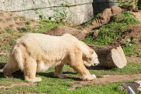 largely: Polar bear (Ursus maritimus) is a carnivorous bear whose native range lies largely within the Arctic Circle. Stock Photo
