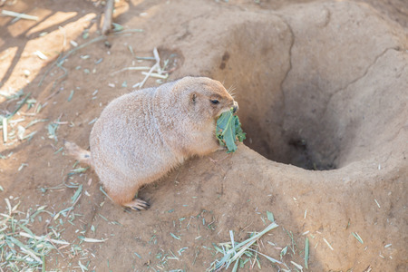 great plains: Black-tailed prairie dog (Cynomys ludovicianus) is a rodent of the family Sciuridae found in the Great Plains of North America Stock Photo