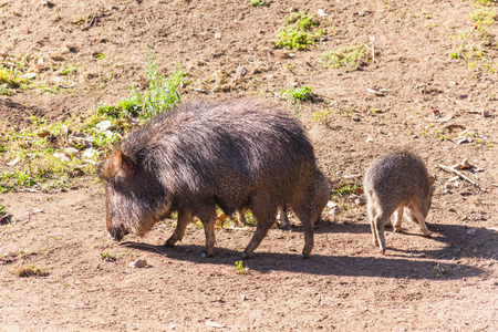 chaco: Chacoan peccary or tagua (Catagonus wagneri) is a species of peccary found in the Gran Chaco of Paraguay, Bolivia, and Argentina.