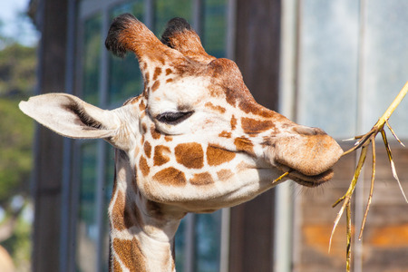 Reticulated giraffe (Giraffa camelopardalis reticulata) is a subspecies of giraffe native to Somalia, southern Ethiopia, and northern Kenya. Stock Photo - 26616383