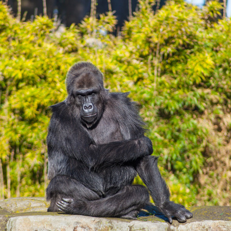montane: Western lowland gorilla (Gorilla gorilla gorilla) lives in montane, primary, and secondary forests and lowland swamps in central Africa.