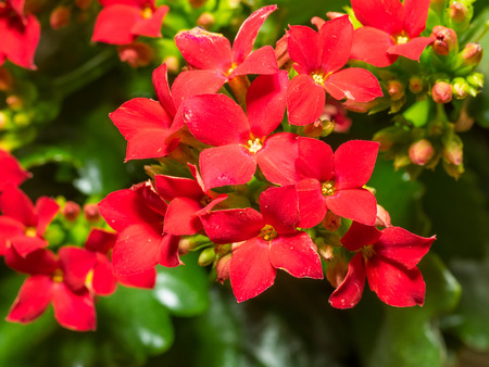 Kalanchoe blossfeldiana is a herbaceous and commonly cultivated house plant of the genus Kalanchoe native to Madagascar.