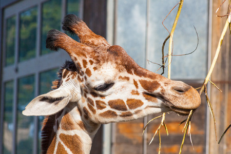 Reticulated giraffe (Giraffa camelopardalis reticulata) is a subspecies of giraffe native to Somalia, southern Ethiopia, and northern Kenya. Stock Photo - 27463511