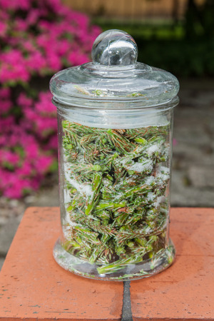 catarrh: Syrup made of pine sprouts is natural remedy our great-grandmothers prepare to treat coughs and catarrh Stock Photo