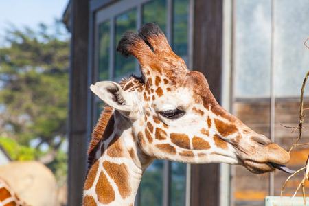 Reticulated giraffe (Giraffa camelopardalis reticulata) is a subspecies of giraffe native to Somalia, southern Ethiopia, and northern Kenya. Stock Photo - 27584223