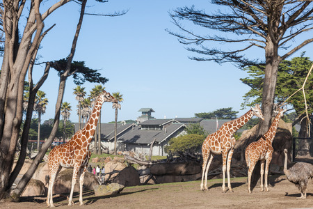 Reticulated giraffe (Giraffa camelopardalis reticulata) is a subspecies of giraffe native to Somalia, southern Ethiopia, and northern Kenya. Stock Photo - 27727913
