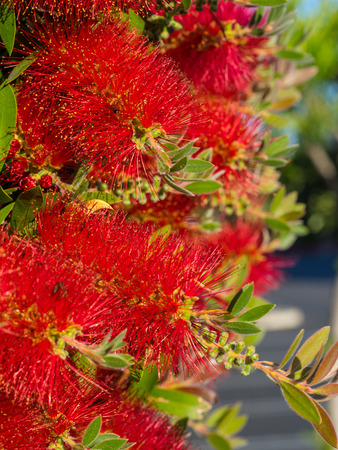 callistemon citrinus: Crimson Bottlebrush  Callistemon citrinus  is a shrub in the family Myrtaceae  It is native to south-eastern Australia