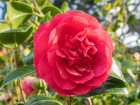 Camellia japonica is a flowering tree or shrub Stock Photo