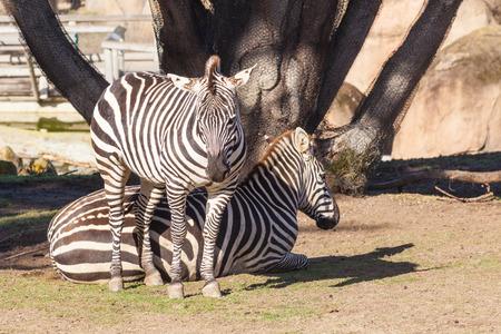subspecies: Grants zebra (Equus quagga boehmi) is the smallest of six subspecies of the plains zebra.