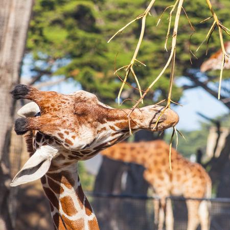 Reticulated giraffe  Giraffa camelopardalis reticulata  is a subspecies of giraffe native to Somalia, southern Ethiopia, and northern Kenya