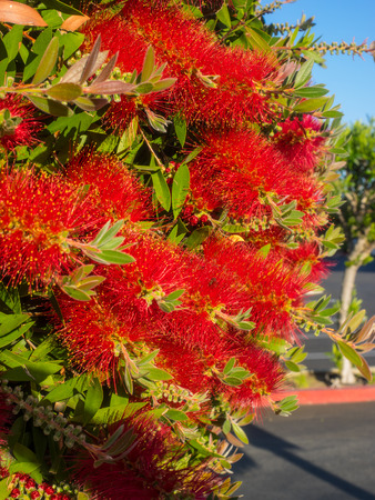 callistemon: Crimson Bottlebrush (Callistemon citrinus) is a shrub in the family Myrtaceae. It is native to south-eastern Australia. Stock Photo