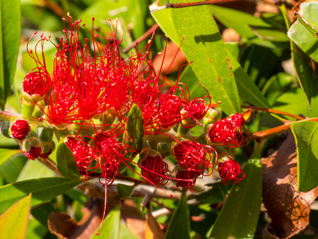 callistemon citrinus: Crimson Bottlebrush (Callistemon citrinus) is a shrub in the family Myrtaceae. It is native to south-eastern Australia. Stock Photo