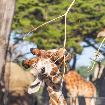Reticulated giraffe (Giraffa camelopardalis reticulata) is a subspecies of giraffe native to Somalia, southern Ethiopia, and northern Kenya. photo