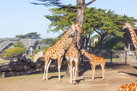 reticulata: Reticulated giraffe (Giraffa camelopardalis reticulata) is a subspecies of giraffe native to Somalia, southern Ethiopia, and northern Kenya.