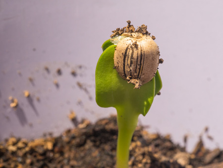 Sunflower seed sprouts grow from hulled sunflower seeds. Stock Photo